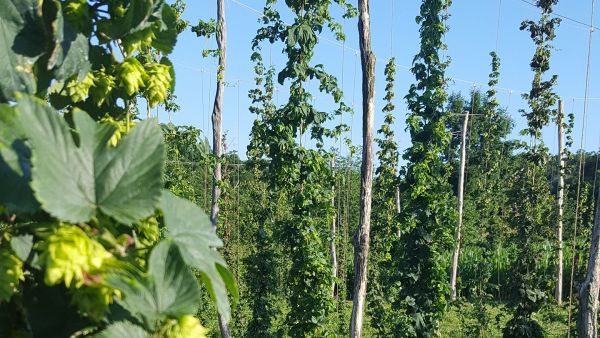Hops Growing On Our Farm!